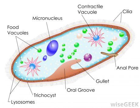 paramecium-diagram