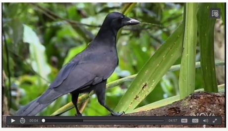 new Caledonian crow